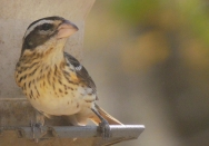 EM female Grosbeak May 4 2015