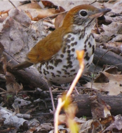 EM wood thrush May 4 2015